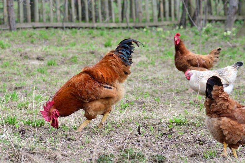 Κότες και κόκκορας στοκ εικόνες