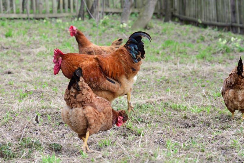Κότες και κόκκορας στοκ φωτογραφία με δικαίωμα ελεύθερης χρήσης