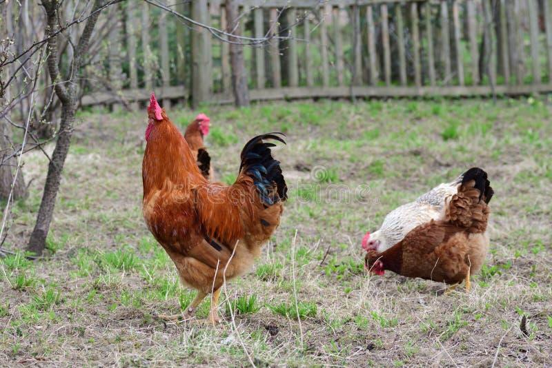 Κότες και κόκκορας στοκ εικόνες με δικαίωμα ελεύθερης χρήσης