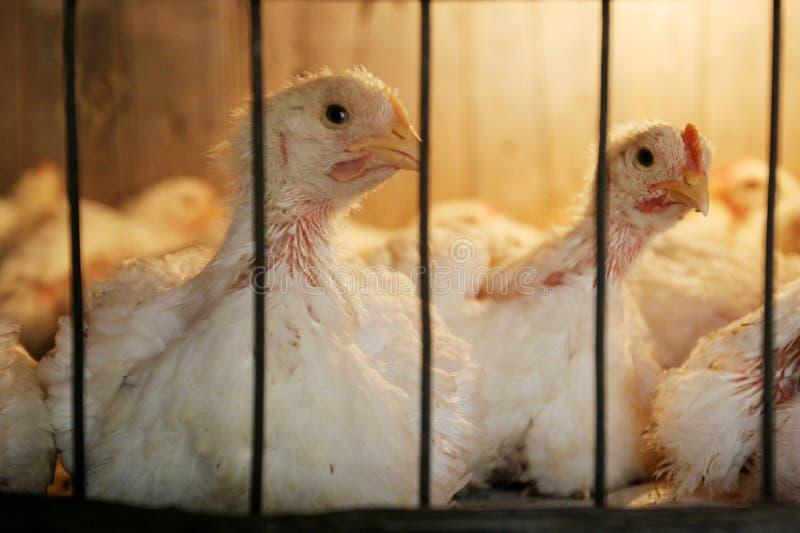 Κότες στο κοτέτσι στο αγρόκτημα κοτόπουλου στοκ φωτογραφία με δικαίωμα ελεύθερης χρήσης