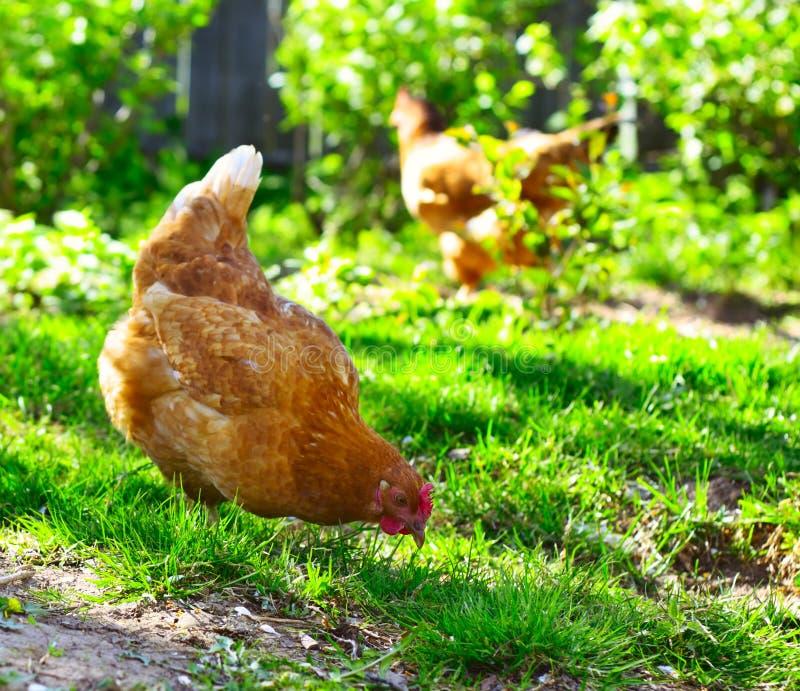 κότες στοκ φωτογραφία