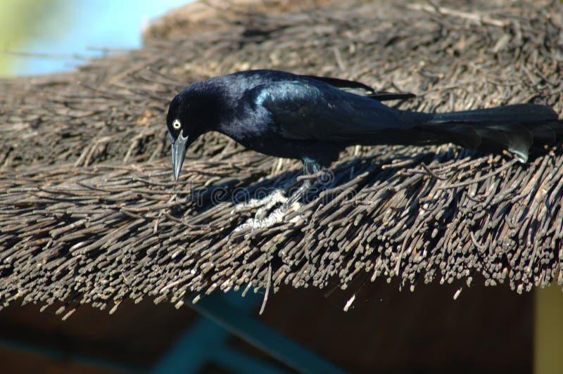 Download κότσυφας στοκ εικόνα. εικόνα από feathered, ψαρόνι, φύση - 51223