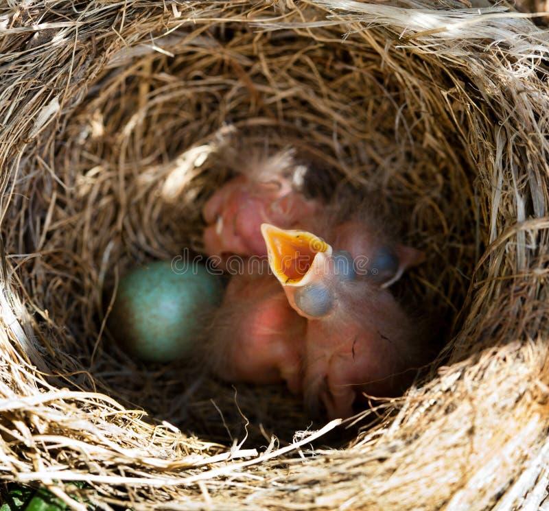 Κότσυφες μωρών στη φωλιά στοκ εικόνες