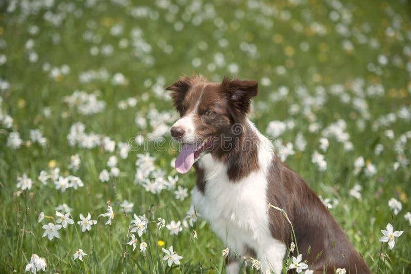Κόλλεϊ συνόρων στον τομέα daffodil στοκ φωτογραφίες με δικαίωμα ελεύθερης χρήσης