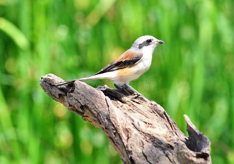 Κόλπος-υποστηριγμένο πουλί Shrike, πουλί στοκ εικόνα με δικαίωμα ελεύθερης χρήσης