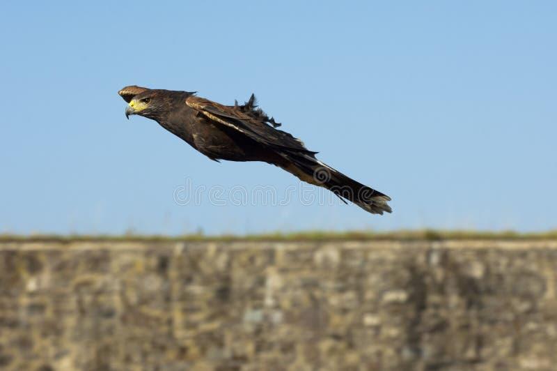 Κόλπος-φτερωτό γεράκι στοκ φωτογραφία με δικαίωμα ελεύθερης χρήσης