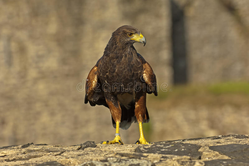 Κόλπος-φτερωτό γεράκι στοκ εικόνα με δικαίωμα ελεύθερης χρήσης