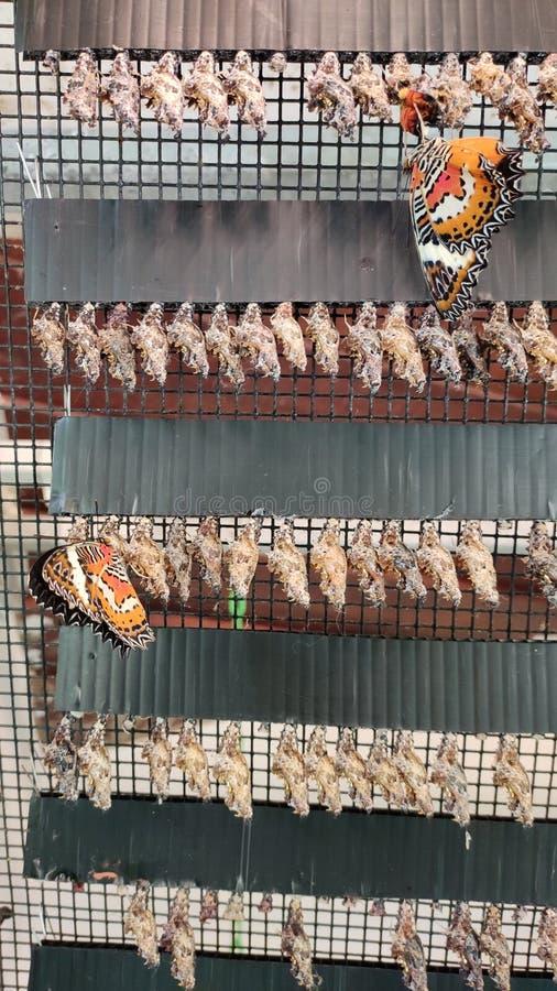 Κύκλος ζωής αναπαραγωγής πεταλούδων Σινγκαπούρη στοκ φωτογραφίες