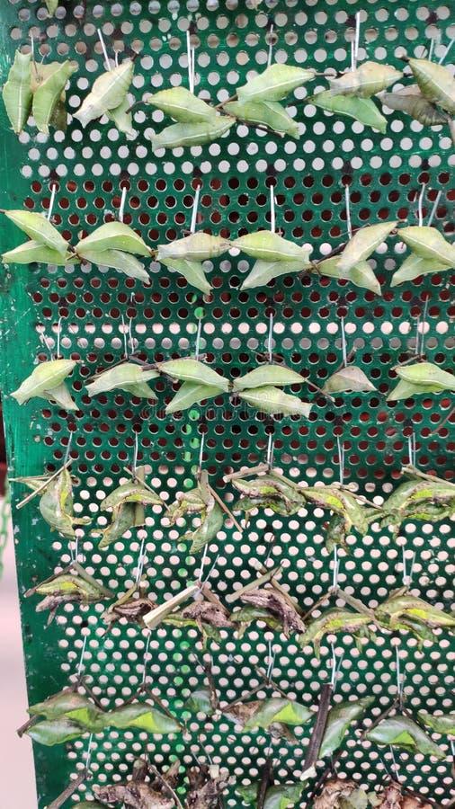 Κύκλος ζωής αναπαραγωγής πεταλούδων Σινγκαπούρη στοκ εικόνες