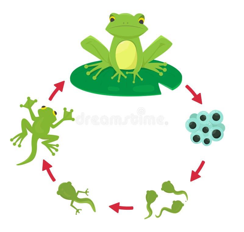 Κύκλος ζωής ενός βατράχου διανυσματική απεικόνιση