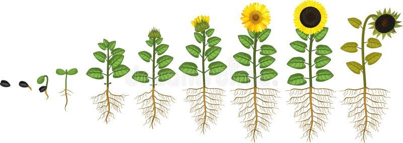 Κύκλος ζωής ηλίανθων Στάδια αύξησης από το σπόρο στο άνθισμα και το fruit-bearing φυτό με το σύστημα ρίζας διανυσματική απεικόνιση