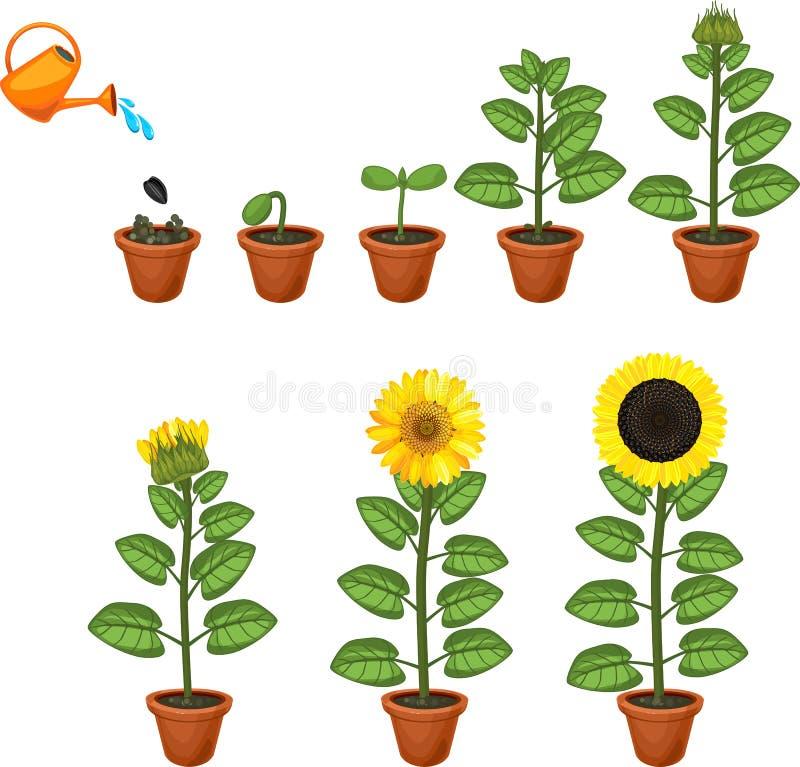 Κύκλος ζωής ηλίανθων Στάδια αύξησης από το σπόρο στο άνθισμα και το fruit-bearing φυτό ελεύθερη απεικόνιση δικαιώματος