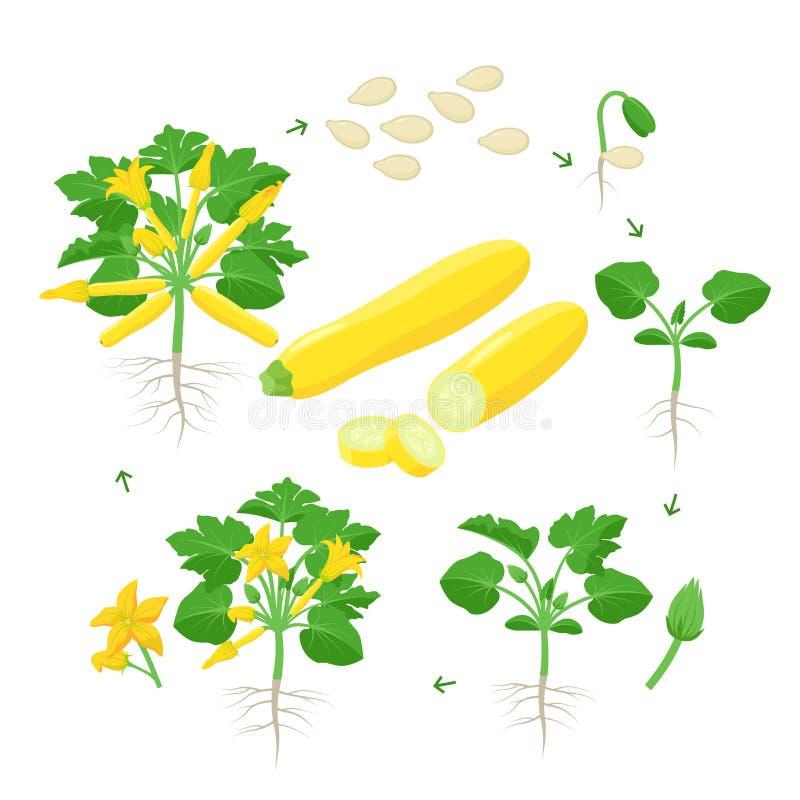 Αύξηση φυτών κολοκυθιών από το σπόρο, το νεαρό βλαστό, το άνθισμα και το ώριμο φυτό με τα ώριμα φρούτα Κύκλος ζωής του κίτρινου δ διανυσματική απεικόνιση