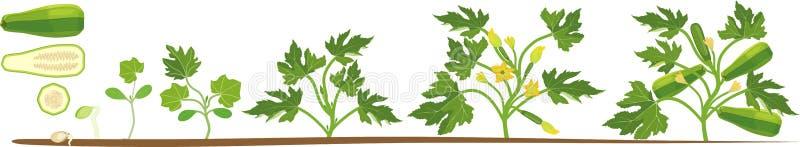 Κύκλος ζωής των εγκαταστάσεων κολοκυθιών Στάδια αύξησης από τη σπορά στο άνθισμα και το fruit-bearing φυτό διανυσματική απεικόνιση