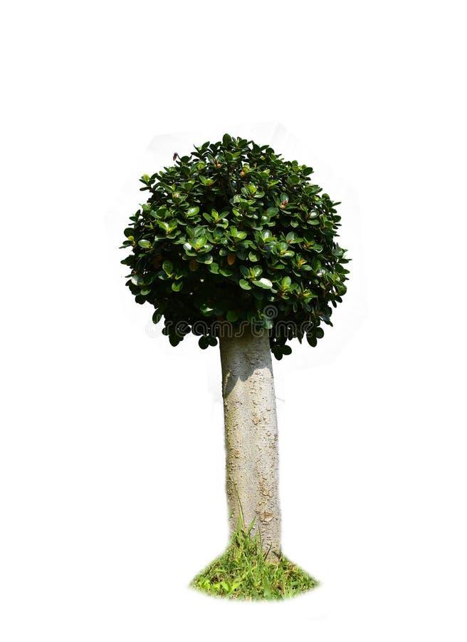 Κύκλος φύλλων Banyan, διακόσμηση δέντρων που απομονώνεται στο άσπρο υπόβαθρο στοκ φωτογραφία με δικαίωμα ελεύθερης χρήσης