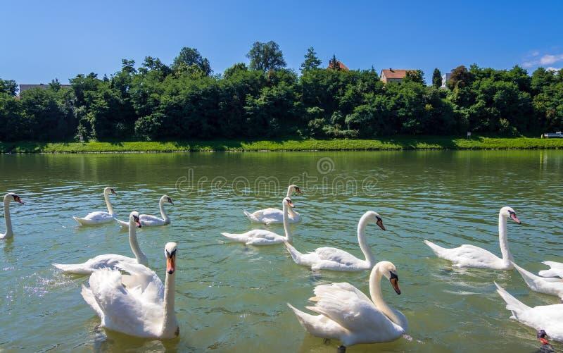 Κύκνοι στον ποταμό Drava στο Maribor, Σλοβενία στοκ φωτογραφίες