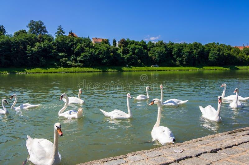 Κύκνοι στον ποταμό Drava στο Maribor, Σλοβενία στοκ εικόνες με δικαίωμα ελεύθερης χρήσης