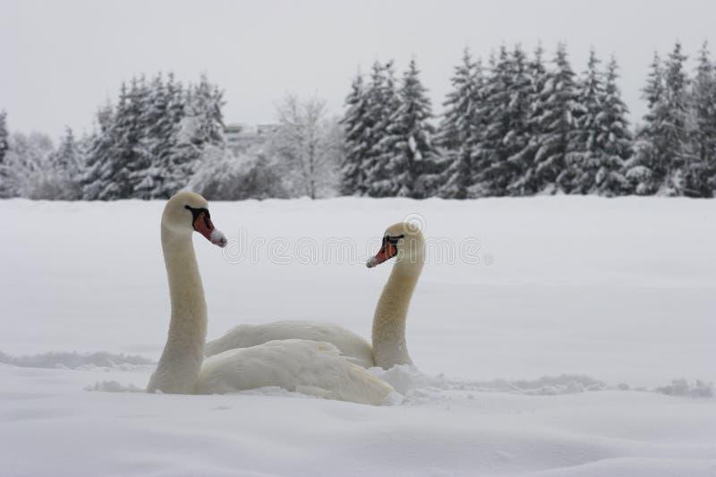 κύκνοι χιονιού στοκ φωτογραφία