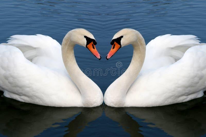 κύκνος αγάπης στοκ εικόνες