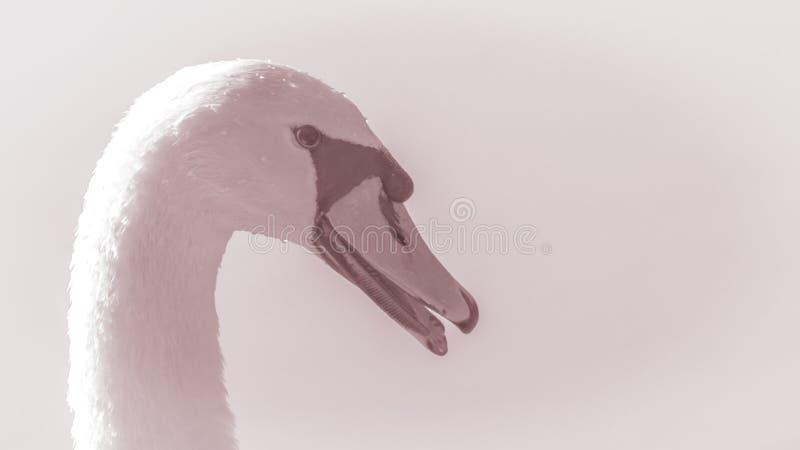 Κύκνος Εικόνα του κεφαλιού μιας όμορφης χαριτωμένης κινηματογράφησης σε πρώτο πλάνο πουλιών στοκ εικόνα με δικαίωμα ελεύθερης χρήσης