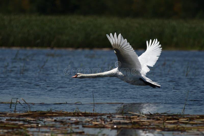Κύκνος και ένα γιγαντιαίο λευκό πουλί - ομορφιά πετάγματος στοκ εικόνες