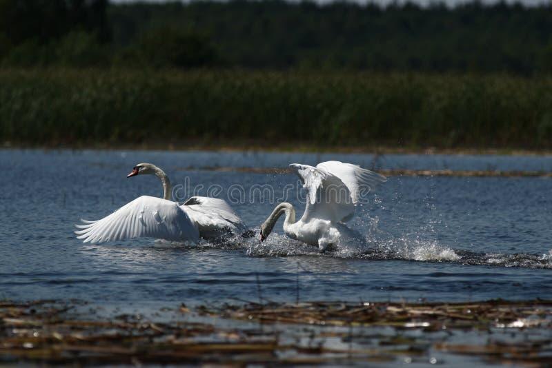 Κύκνος και ένα γιγαντιαίο λευκό πουλί - ομορφιά πετάγματος στοκ φωτογραφίες με δικαίωμα ελεύθερης χρήσης