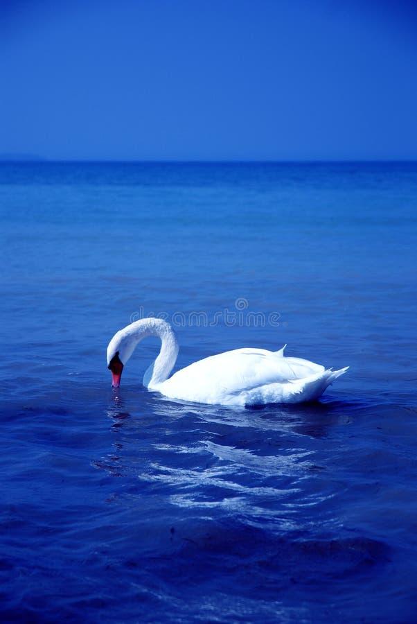 κύκνος λιμνών πουλιών στοκ εικόνες
