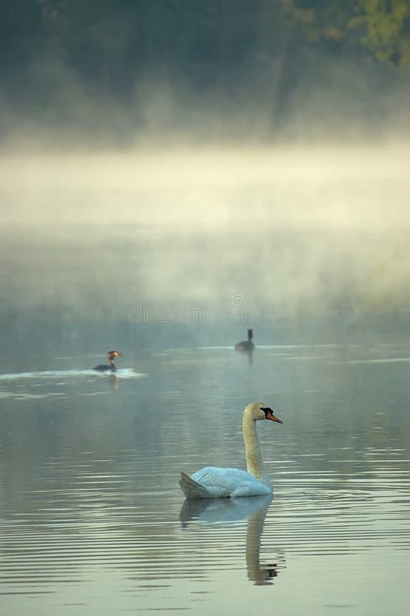 κύκνος λιμνών πρωινού στοκ εικόνα με δικαίωμα ελεύθερης χρήσης