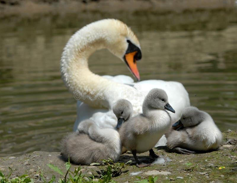 Download κύκνος μωρών στοκ εικόνα. εικόνα από birdbaths, οικογένεια - 17051779