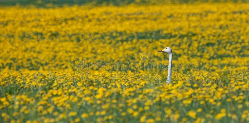 Κύκνος που κάθεται στα κίτρινα λουλούδια στοκ εικόνα με δικαίωμα ελεύθερης χρήσης