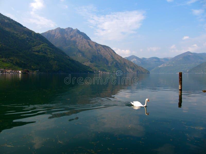 """Κύκνος σε Lago δ """"Iseo στη βόρεια Ιταλία στοκ εικόνες"""