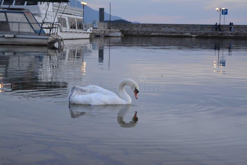 Κύκνος στη λίμνη Οχρίδα στο ηλιοβασίλεμα στοκ εικόνες