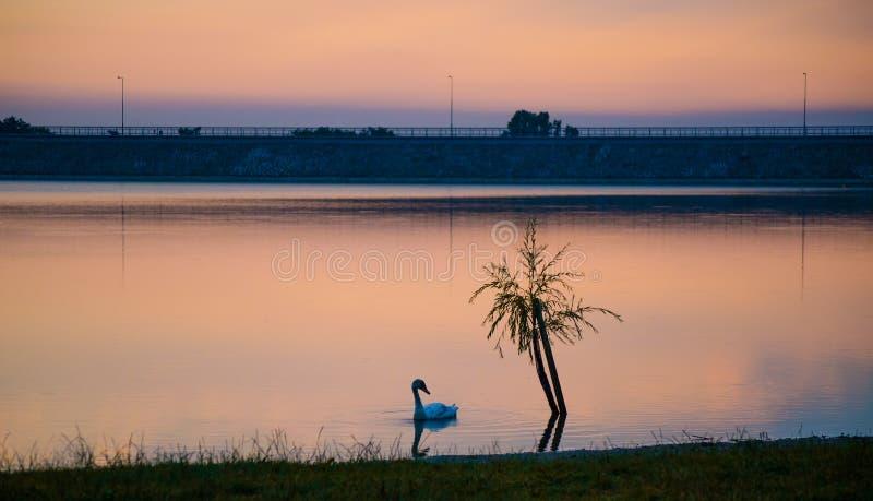 Κύκνος στη λίμνη στοκ φωτογραφίες