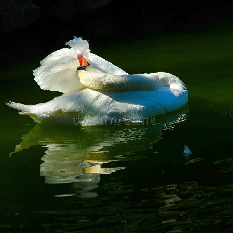 Κύκνος στη λίμνη στοκ φωτογραφία με δικαίωμα ελεύθερης χρήσης
