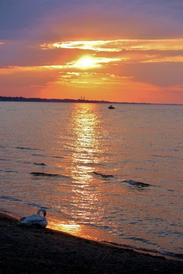 Κύκνος στο ηλιοβασίλεμα στοκ φωτογραφίες