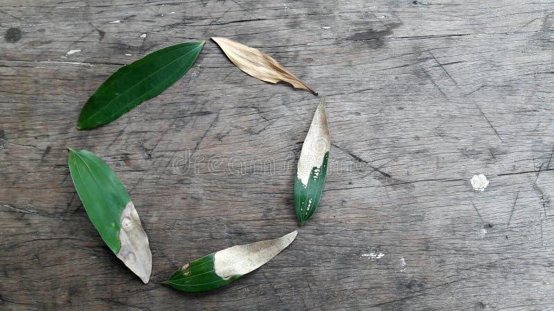 Κύκλος ζωής εάν ένα φύλλο ακακιών σε ένα αγροτικό ξύλινο κλίμα στοκ εικόνες με δικαίωμα ελεύθερης χρήσης
