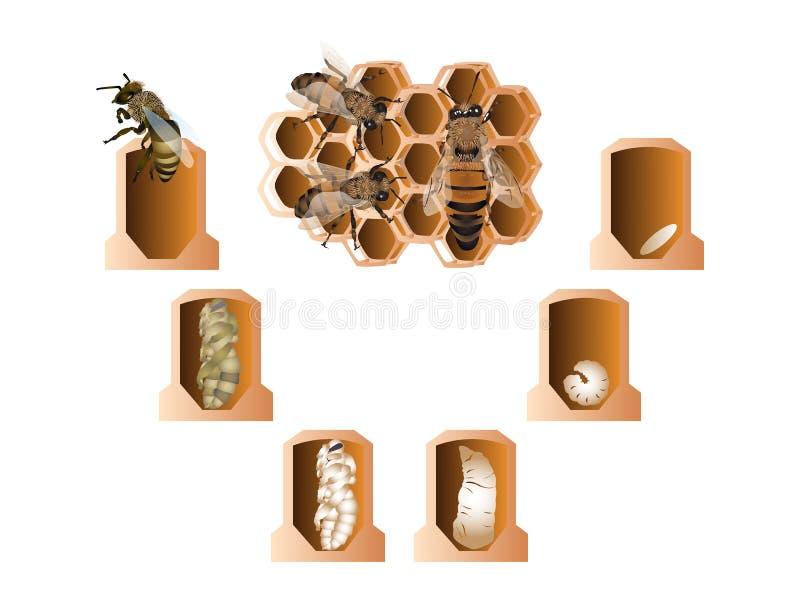 Κύκλος ζωής της ευρωπαϊκής μέλισσας μελιού απεικόνιση αποθεμάτων