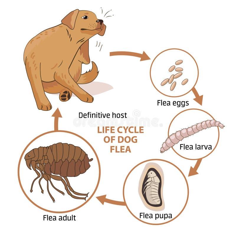 Κύκλος ζωής του ψύλλου σκυλιών επίσης corel σύρετε το διάνυσμα απεικόνισης μόλυνση Η διάδοση της μόλυνσης ασθένειες Ζώα ψύλλων απεικόνιση αποθεμάτων