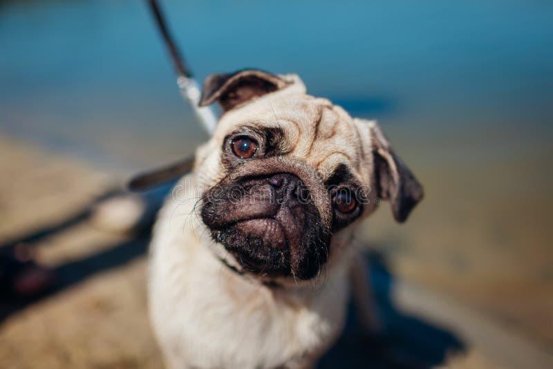 Κύριο σκυλί μαλαγμένου πηλού περπατήματος στο λουρί από τον ποταμό Θηλυκό κουτάβι που εξετάζει τη κάμερα pets στοκ φωτογραφία με δικαίωμα ελεύθερης χρήσης