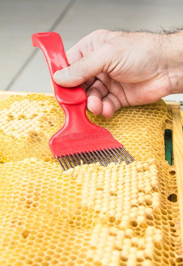 Κύτταρα κηφήνων χτενών κεριών που εξετάζονται για varroa στοκ εικόνες με δικαίωμα ελεύθερης χρήσης
