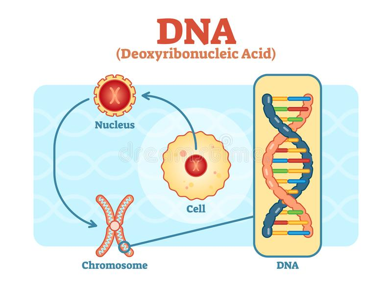 Κύτταρο - πυρήνας - χρωμόσωμα - DNA, ιατρικό διανυσματικό διάγραμμα διανυσματική απεικόνιση