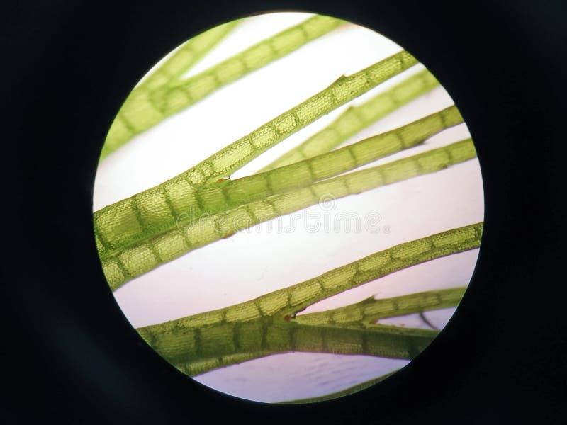 Κύτταρο υδρόβιων φυτών στοκ φωτογραφίες