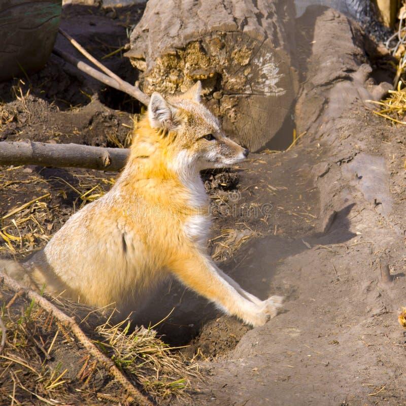 κύψελλος αλεπούδων στοκ φωτογραφίες