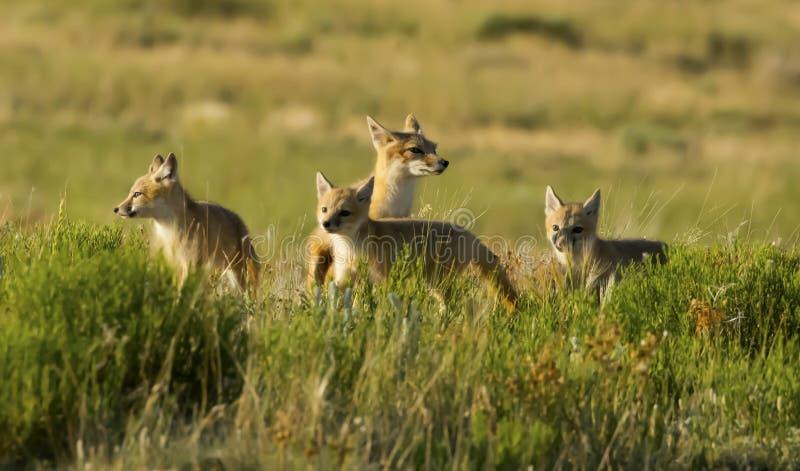 κύψελλος αλεπούδων στοκ εικόνα