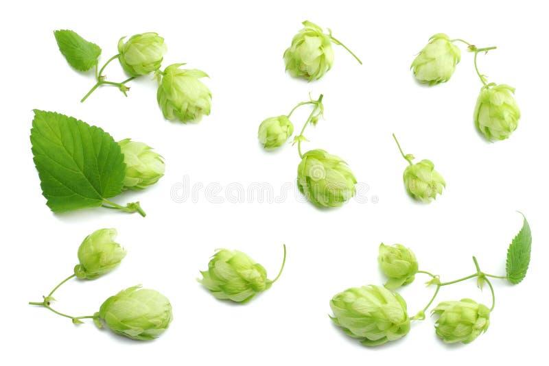 Κώνοι λυκίσκου συστατικών παρασκευής μπύρας στο άσπρο υπόβαθρο Έννοια ζυθοποιείων μπύρας Ανασκόπηση μπύρας στοκ φωτογραφίες