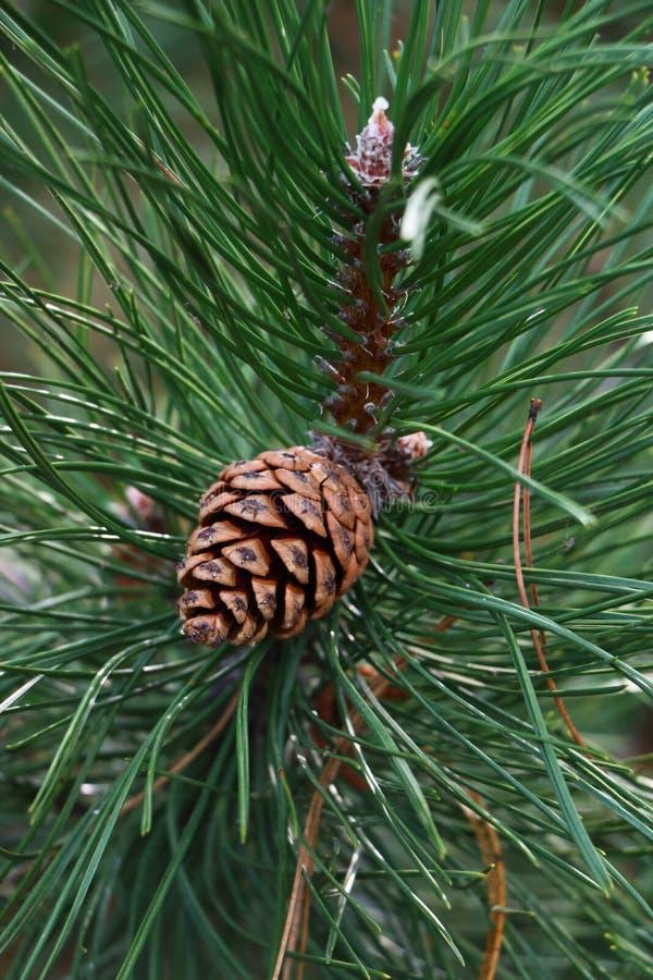 Κώνοι πεύκων που φωτογραφίζονται το πρώιμο φθινόπωρο στοκ εικόνα με δικαίωμα ελεύθερης χρήσης