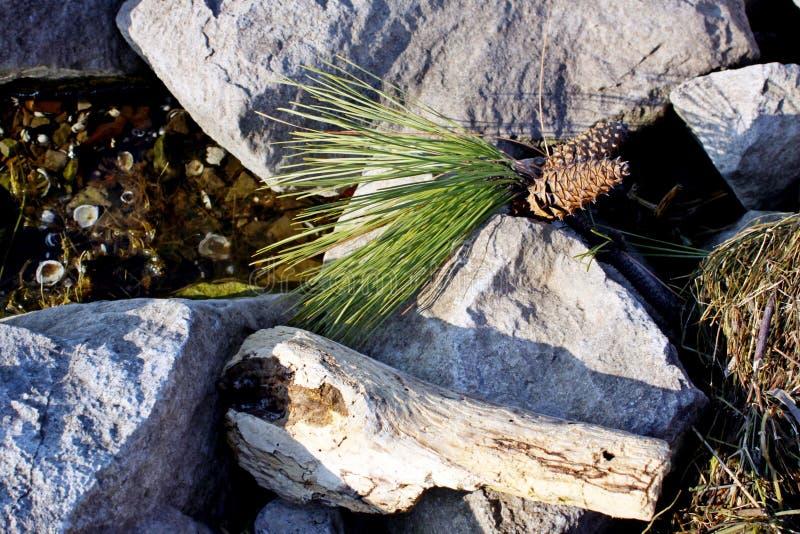 Κώνοι πεύκων στην πέτρα στοκ φωτογραφία με δικαίωμα ελεύθερης χρήσης