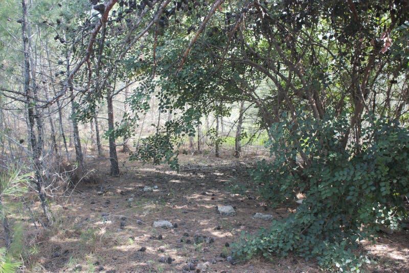 Κώνοι πεύκων στο έδαφος στοκ εικόνες με δικαίωμα ελεύθερης χρήσης