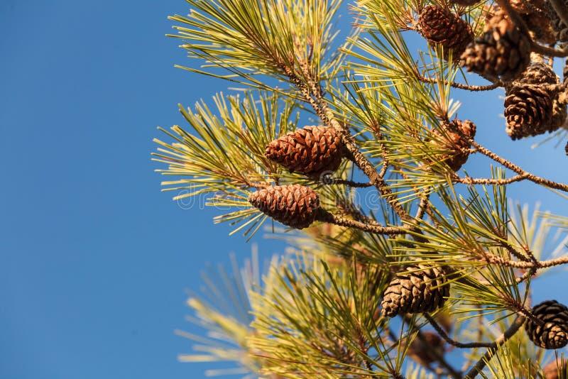 Κώνοι στο δέντρο κωνοφόρων στοκ φωτογραφία