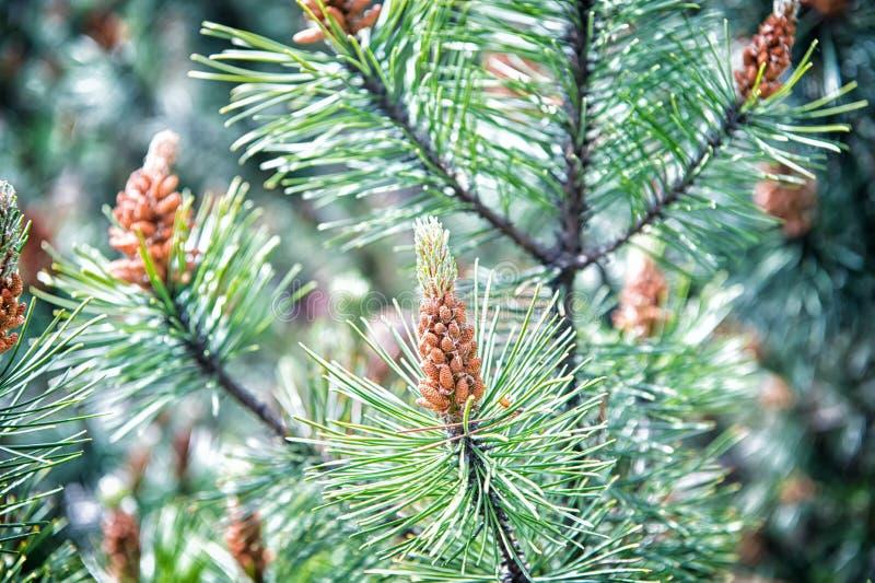 Κώνος πεύκων και πράσινες βελόνες στο δέντρο έλατου στην Κρακοβία, Πολωνία Χριστούγεννα και νέος εορτασμός διακοπών έτους Αειθαλή στοκ εικόνα